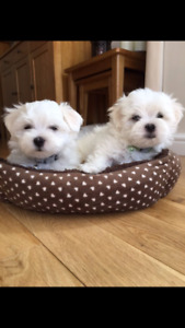 Looking for a new puppy