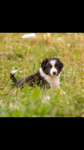 Border Collie Pups (one male left!)