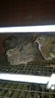 10 courtunix quails with a cage