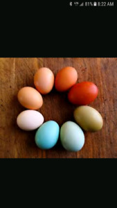 Wanted: HENS that lay colored eggs!
