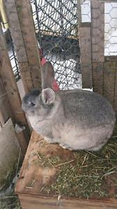 Gros lapins CALIFORNIEN-NOUVELLESZELANDRE