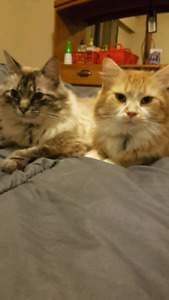 Two amazing 6 year old cats to a promising home