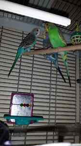 Budgies with a cage