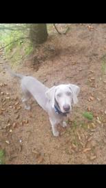 Silver Weimaraner pup