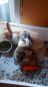 Two bunnies for sell plus cage