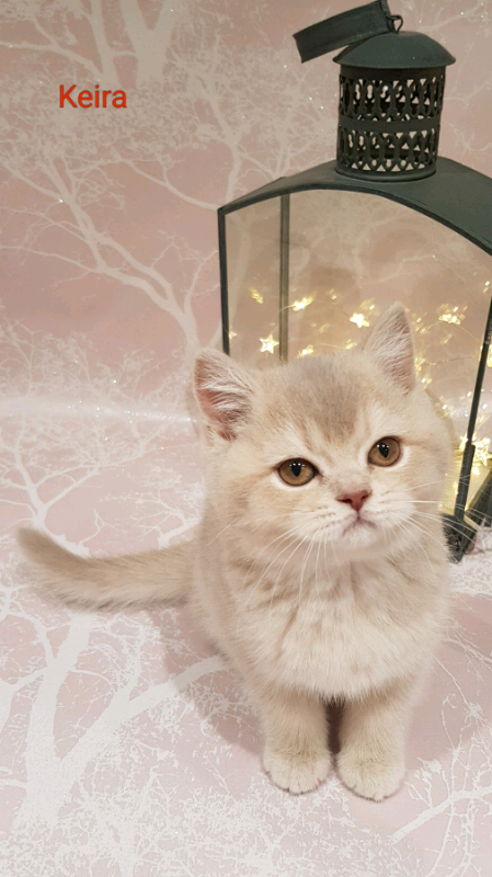 Grand Champion Sired Lilac Golden British Shorthair | in Bideford, Devon |  Gumtree