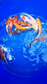 Koi, Koi carp, pond fish