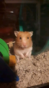 Hamster and accessories (sold ppu)