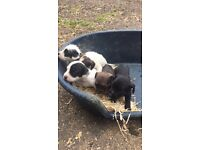 Mixed litter of Jack Russell