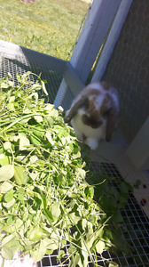 **Male and female holland lop FREE**