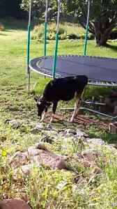 6 month old  Holstein bobcalf for sale