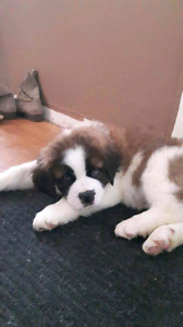 Saint Bernard 10 weeks old