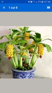 Graine de bananier intérieur