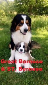 4 F1b Great Bernese, 1 Great Bernedoodle