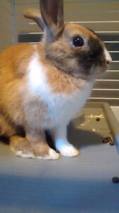 Dutch Bunny For Sell