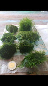 Java moss attached to stones