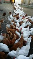Young laying hens, white leghorn, approximately 100 available