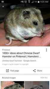 Chinese hamster 4 sale.