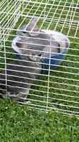Two female chinchillas looking for loving home