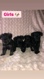 Schnoodle puppies
