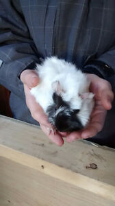 Baby Guniea Pigs For  Sale