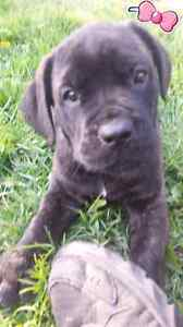 Lovely Italian Mastiff Puppies