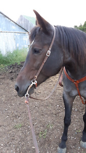 15 yr. Old QH/ Draft mare