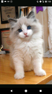 Looking for a fluffy male pure Ragdoll kitten