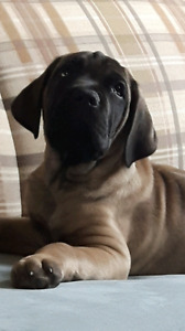 Beatiful Cane Corso Puppies