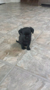 The sweetest puppies ever pug cross only 2 males left
