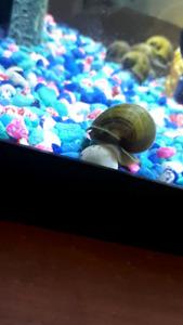 Mystery snails