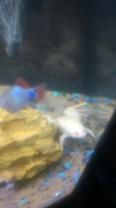 Albino Clawed Frog for sale
