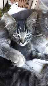 Polydactyl kitten cross5