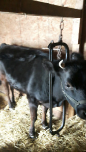 Dual purpose cow for sale