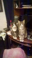 2 Cats Brother and Sister - Free