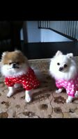 2 Pomeranians Free to good home must go as a pair