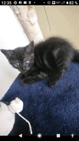 Kitty for sale mum english grey cat dad english short hair cat