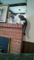 Jasper - Lost Male Cat - White and Grey Tabby DSH