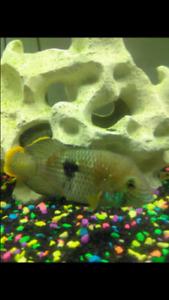 Green terror cichlids
