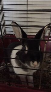 Netherland dwarf bunny for sale in Baden