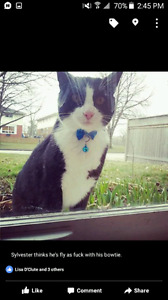 Missing Male Cat, Sylvester.