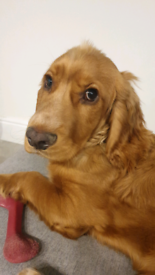 6 Month Old Cocker Spaniel Boy Pup