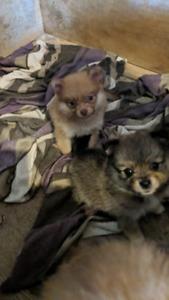 Pomerianian puppies