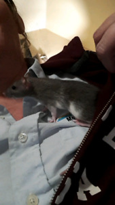 Male pet rats looking for home
