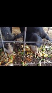 Pair of Bonded Berkshire pigs free to good home