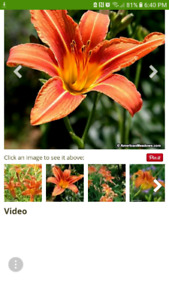 Orange daylily (Perennial)