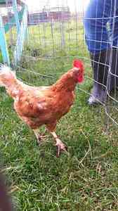Laying hens for sale Chickens