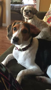 REWARD OFFERED FOR LOST BEAGLE  (EVEE)