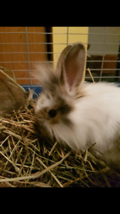 Young lionhead cross plus cage