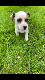 Full Jack Russell Terrier Puppy - Male